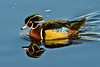 A Wood Duck swims in Kennebec River in Gardiner, Maine.