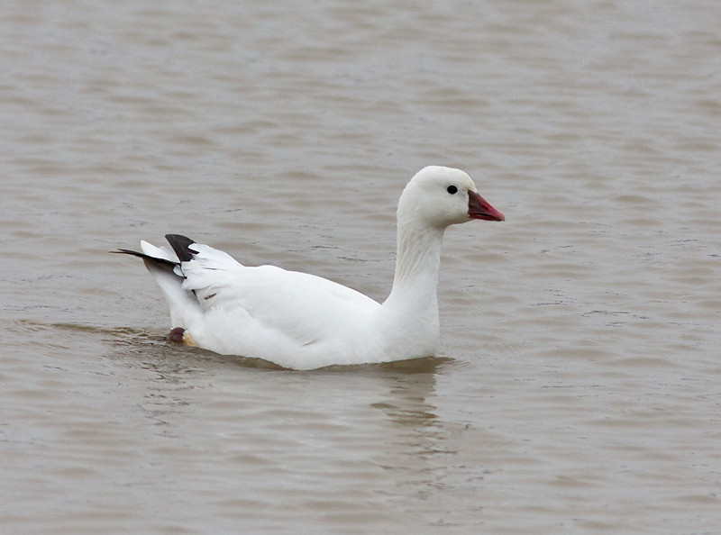 Ross's Goose<br /> Clark County, March 2011