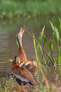So Close I Can Almost Taste It Black-bellied whistling ducks Orlando Wetlands Park, Orlando, Florida © 2014