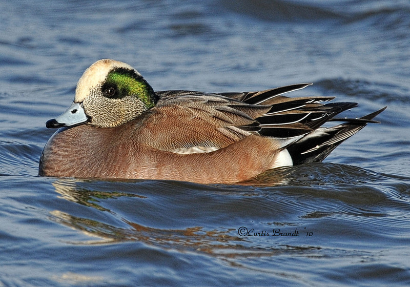 "American Wigeon ( or Baldpate ) ( Anas americana )  <a href=""http://en.wikipedia.org/wiki/American_Wigeon"" rel=""nofollow"">en.wikipedia.org/wiki/American_Wigeon</a>"