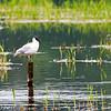 Black-headed gull on pole