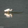 Chasing great white heron