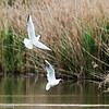 Black-headed gulls, fighting