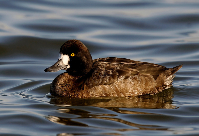 "the Lesser Scaup, Aythya affinis <a href=""http://en.wikipedia.org/wiki/Lesser_Scaup"">http://en.wikipedia.org/wiki/Lesser_Scaup</a>"