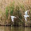 Black-headed gull, pair