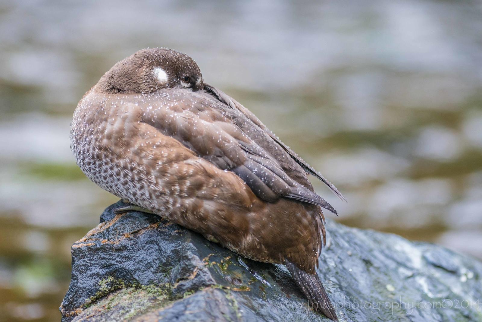 Sleeping Harlequin Duck Russian River Cooper Landing, Alaska © 2014