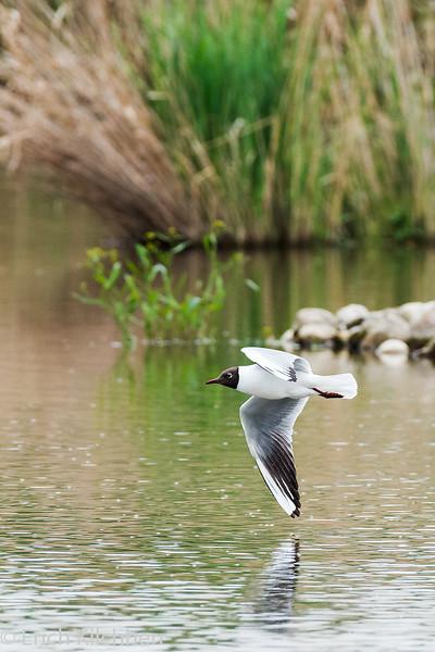 Black-headed gull, mirrored
