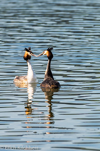 Couple of great crested grebes