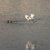 Great white heron in flight