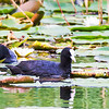 Couple of coots (Blässhuhn)