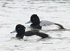 Tufted Duck with Lesser Scaup