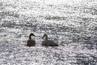 Glisten Trumpeter swans backlit on the river Yellowstone National Park, Wyoming © 2014