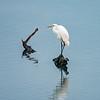 Resting great white heron