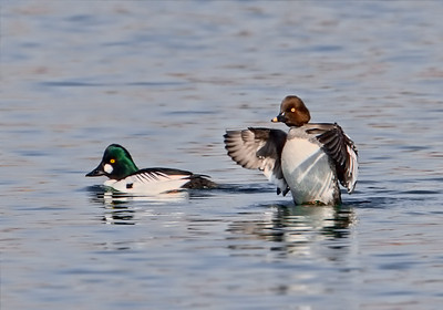 common-goldeneye-pair_1290-2
