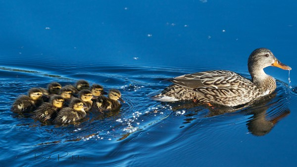 Mallard ducklings with mother