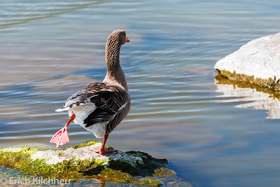 Goose, ready to go