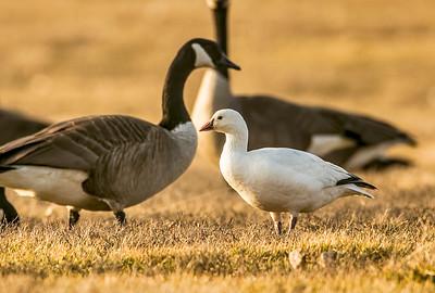 ross goose 2-7-2016
