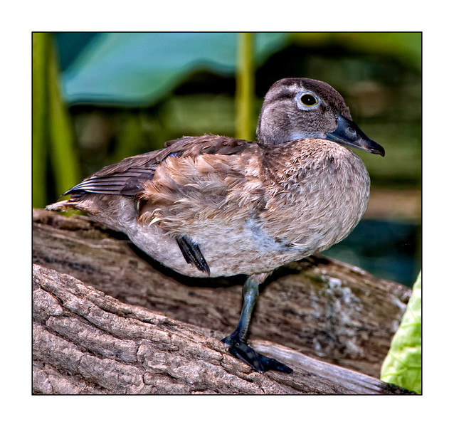 Blue-winged Teal<br /> (Anas discors)
