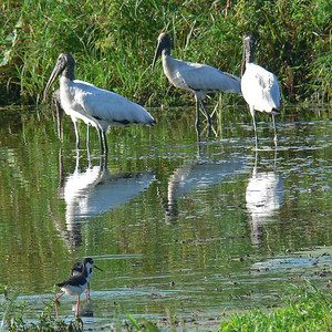 Wood Storks and Black-necked Stilts