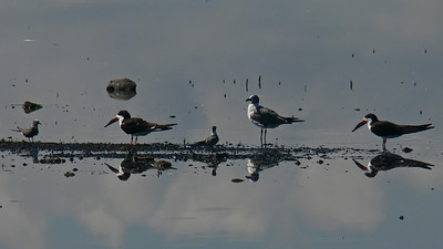 Black Skimmers and friends