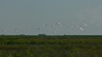 Spoonbills on the wing