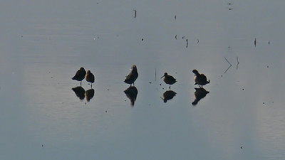 Dowitchers (don't know if Long- or Short-billed)