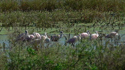 Some of over 300 Roseate Spoonbills
