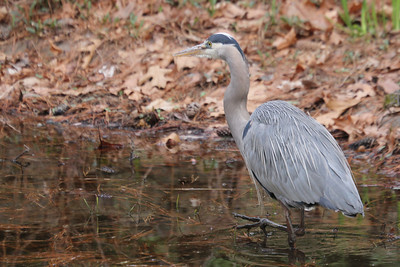 blue heron at Duke Gardens 3/11