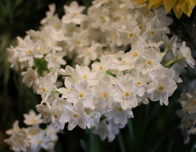 paperwhites at Duke Gardens 3/11