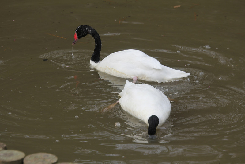 black-necked swans at Duke Gardens