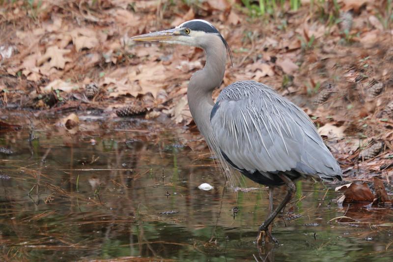 Blue Heron - Duke Gardens 3/11
