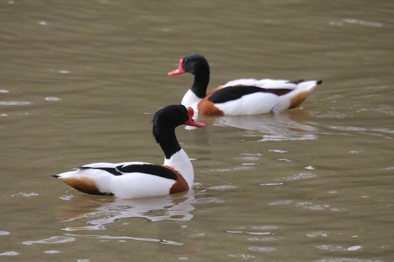 two male shelducks