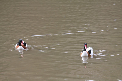 male shelducks - Duke Gardens 3/11