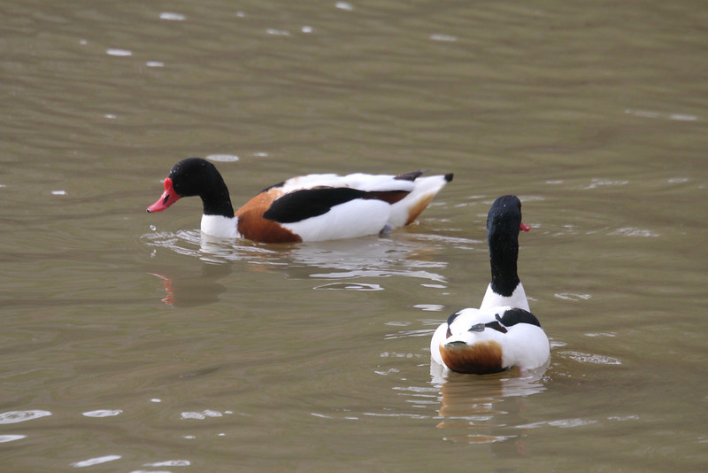 2 male shelducks