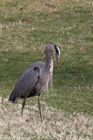 Blue Heron -Duke Gardens 3/11