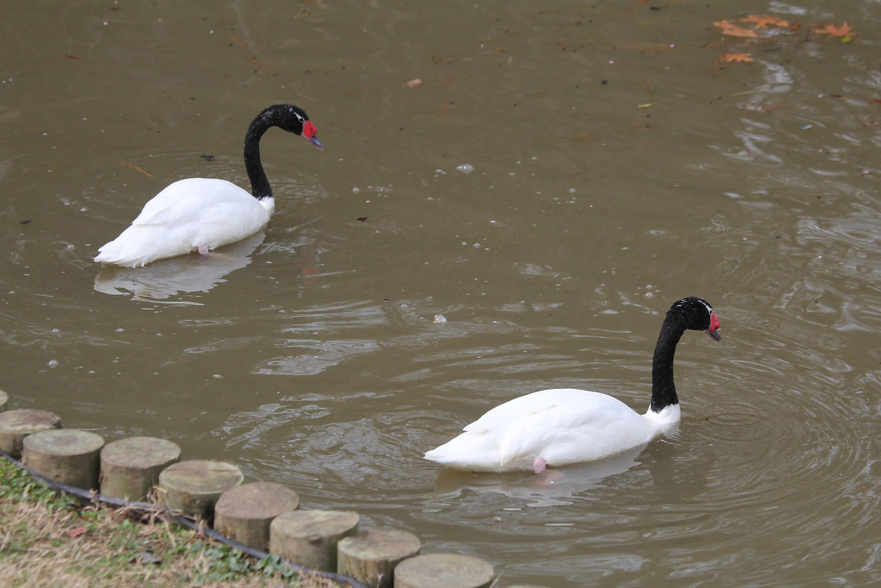 black-necked swans - I found a web site selling a pair for $1400