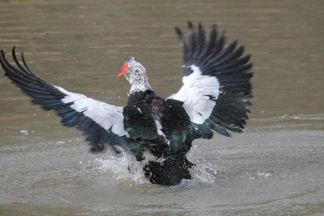 muscovy duck at Duke Gardens