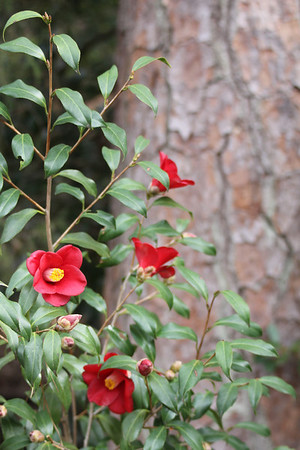 camellias - Duke Gardens 3/11