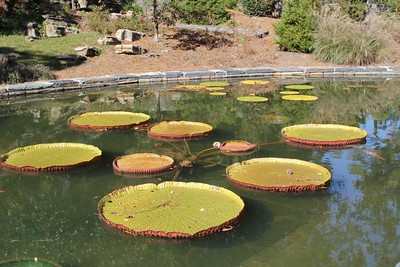Victoria lily pads in the refurbished goldfish pond