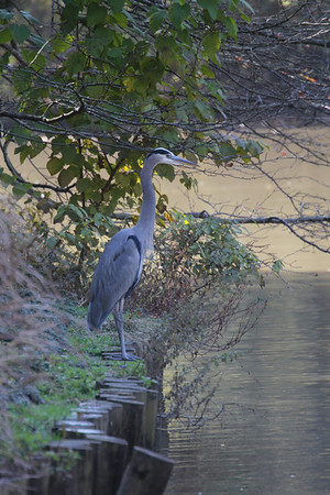 a great blue heron stands watch