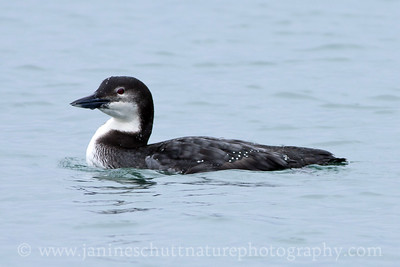 Common Loon in non-breeding plumage near the shore of Dungeness National Wildlife Refuge in Washington.