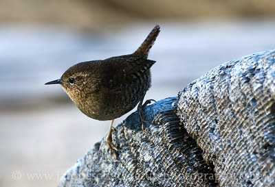"Pacific Wren (formerly known as ""winter wren"") on a piece of driftwood on the Dungeness Spit at Dungeness National Wildlife Refuge in Washington."