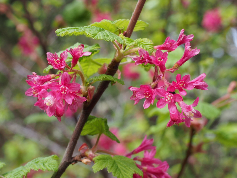 Red-flowering current (Ribes sanguineum) brightened the coastal woods.