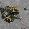 Rockweed (Fucus distichus).