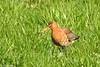 Svarthalespove<br /> <br /> Black-tailed Godwit