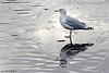 Gråmåke<br /> <br /> Seagull