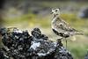 Heilo på lavastein<br /> <br /> Plover on lava rock,from Iceland