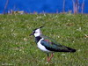 Vipe      <br /> <br /> Lapwing