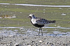 Tundralo<br /> <br /> Grey plover