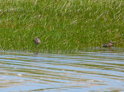 Short-billed Dowitcher doc photo May 20, 2012